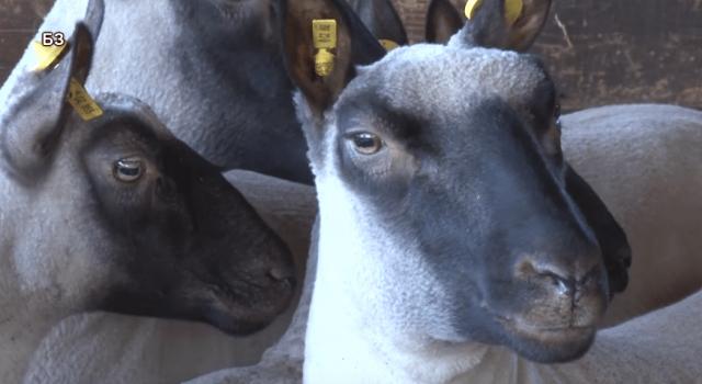 klan forest ovca