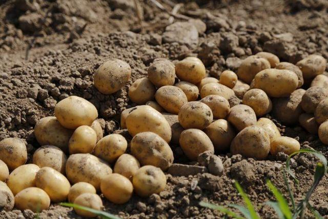 foto: Pixabay, na evropskom tržištu mnogo više krompira