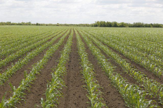 hibrid kukuruza na njivi