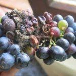 gray rot of grapes