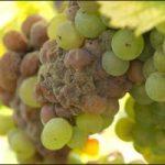 gray rot of vines