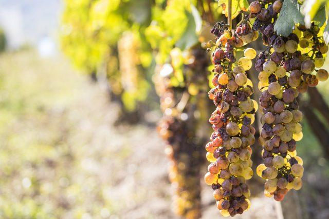 zastita vinove loze od sive trulezi